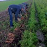carottes récolte imbermais